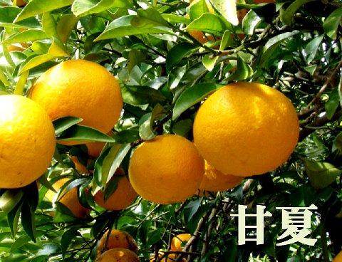 甘夏7.5キロ(小玉)