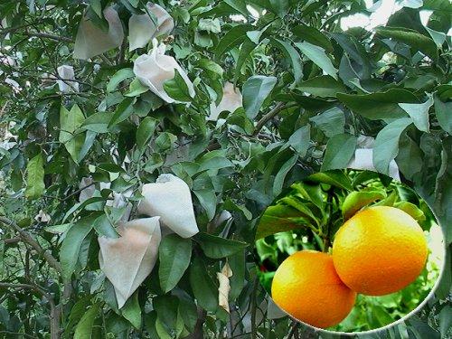 清見オレンジ5キロ(大玉)2Lサイズ