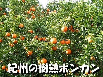 樹熟ポンカン小玉Mサイズ(5キロ)