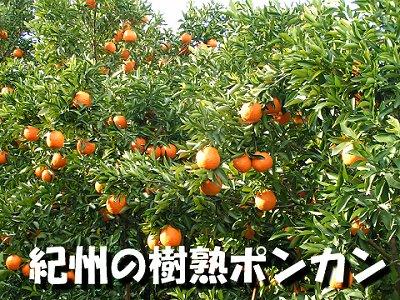 樹熟ポンカン小玉Mサイズ(10キロ)